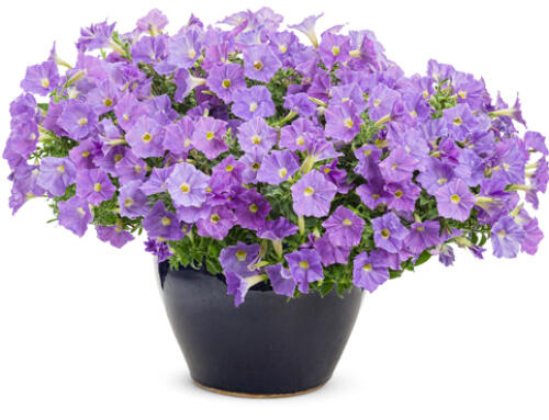 SUPERTUNIA VISTA® Paradise
