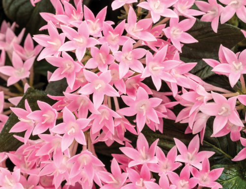 Egyptian Star Flower Sunstar™ Pink
