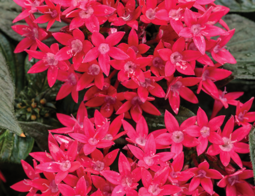 Egyptian Star Flower Sunstar™ Red
