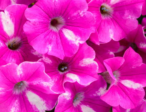 SUPERTUNIA® Raspberry Rush™ Petunia